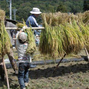2017年稲刈り(米作り体験)