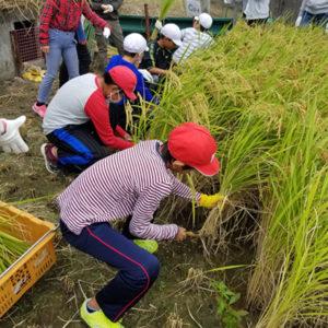 総合学習で米作り体験 稲刈りを実施