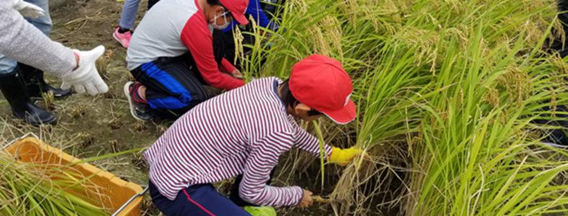 甲東小学校の米作り体験。稲刈りの様子