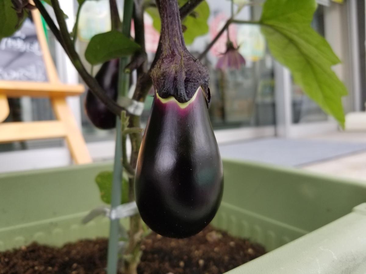 JA兵庫六甲甲東支店が販売する大市茄子