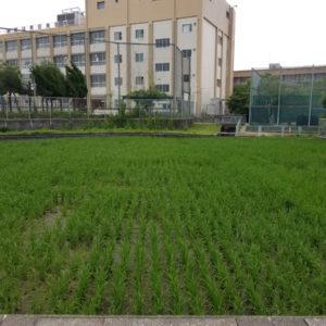 """都会の""""田んぼ""""で米づくり 黄金に輝く稲を収穫"""