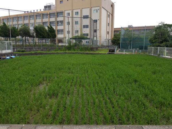 黄金に輝く稲を収穫